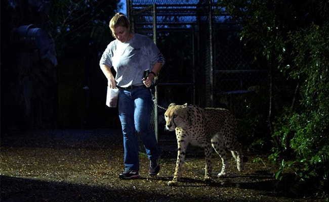 In Hurricane Irma-Hit Florida, A Special Evacuation For Its Zoo Animals