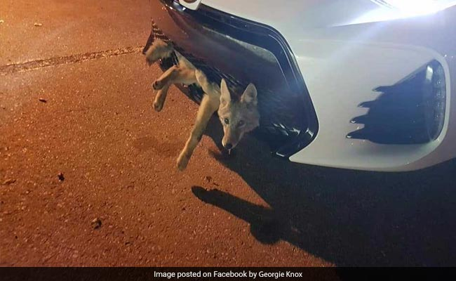 Coyote gets stuck in car's grille after being hit on highway