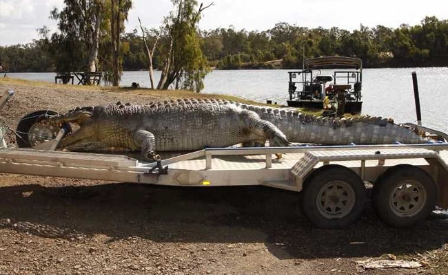 As Giant Crocodile Killed In Australia, Young Reptiles Ready For Turf War