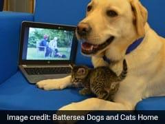 लैब्रडॉर डॉग ने लिया बिल्ली के बच्चे को गोद, अब साथ में देखते हैं टीवी
