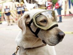 Frida The Rescue Dog Emerges As Hero Of Mexican Earthquake