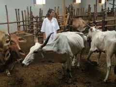 How A 59-Year-Old German Turned Mother To Over 1,000 Sick Cows In Mathura