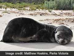 Adorable Baby Seal Found Napping On Beach Swam 200 Km Across Antarctic