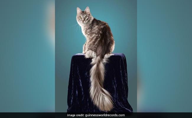 longest tail cat
