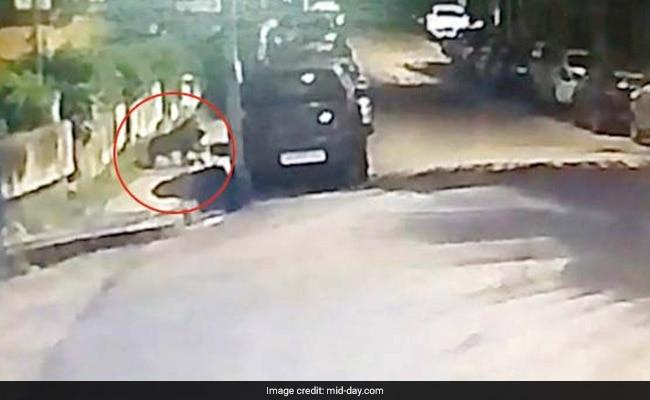On CCTV, Leopard Hunts In Mumbai Neighbourhood, Drags Its Prey