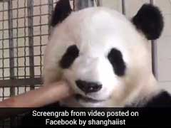 Love Pandas? This Video Is Just For You