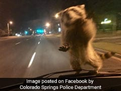 Daredevil Raccoon Hitches Ride On Police Car, Becomes Social Media Star
