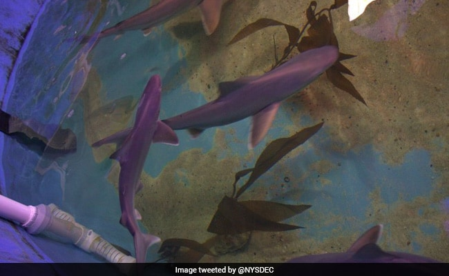 Seven Live Sharks Seized From Basement Of New York Home