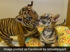 Watch: One Rejected By Mum, Other Rescued From Smuggler, Tiger Cubs Are Now BFFs