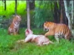 In Brawl Between 4 Big Cats In Bengaluru, A 9-Year-Old White Tiger Dies
