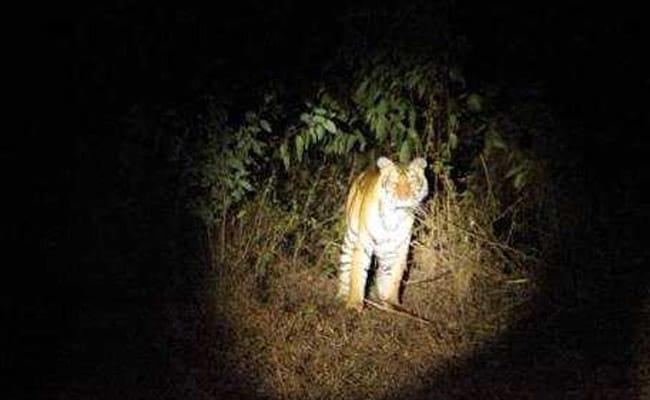 cannibal tigress 650