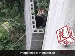 Panic In Chinese Village After Circus Tiger Slips Out Of Cage