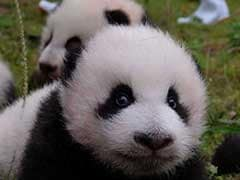 36 Adorable Baby Pandas Make Public Debut. Video Is Too Cute To Handle