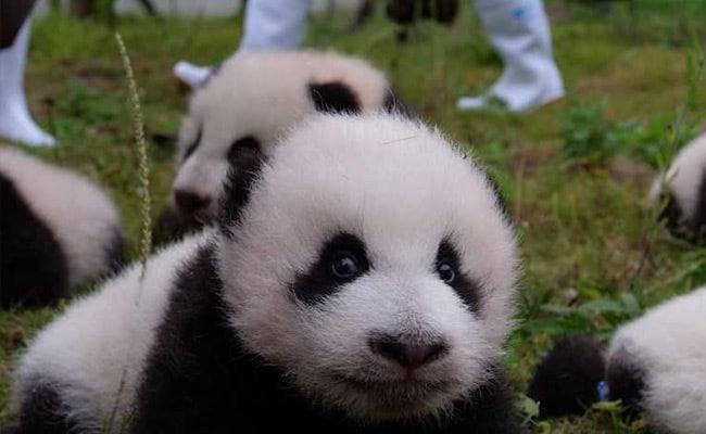 china panda cub afp 650