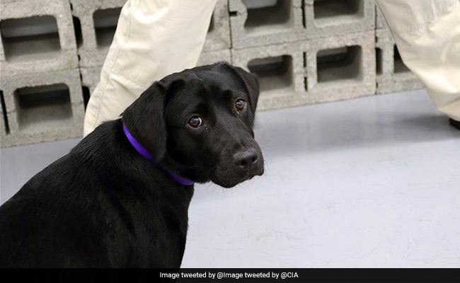 You're Fired, CIA Tells K9 Trainee That Flunks Smell Test