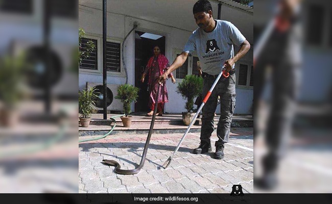 5-Foot-Long Cobra Checks Into Dilli Haat, Rescued
