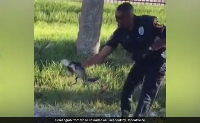 Watch: Cop Pulls Out Baby Gator With Bare Hands