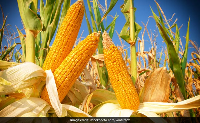US Scientists Discover Way to Create Protein Rich Corn