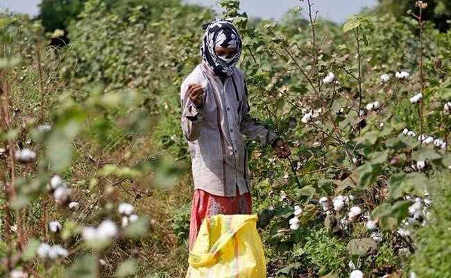 Andhra Investigates Planting Of Monsanto's Unapproved GM Cotton