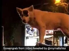 Dog Stands On Top Of Moving Auto Like A Boss. RJ Malishka Tweets Video
