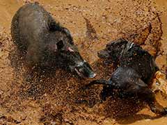 Bloody Spectacle: Indonesian Villages Pit Wild Boars Against Dogs