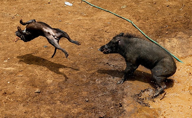 Bloody Spectacle: Wild Boars Pitted Against Dogs In This Island