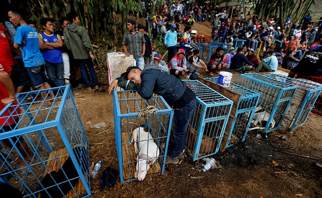 Bloody Spectacle: Indonesian Villages Pit Wild Boars Against