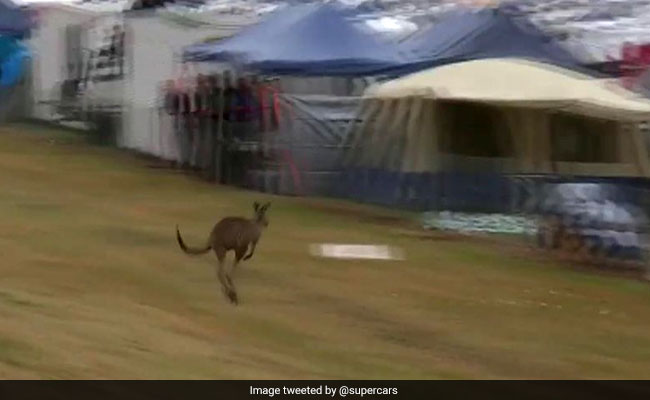 Kangaroo Hops Along Race Track As Cars Buzz By. Only In Australia