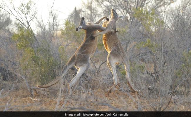 Watch: Incredible Video Of Two Kangaroos Fighting