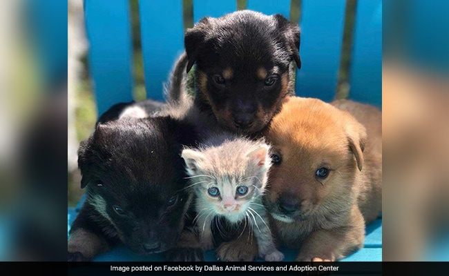 Watch: Orphaned Little Kitten Adopted By A Dog, Now Part Of Family