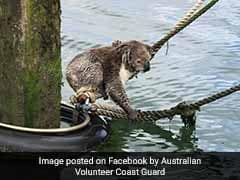 Koala Found Stranded At Sea Rescued By Coast Guard. See Pics
