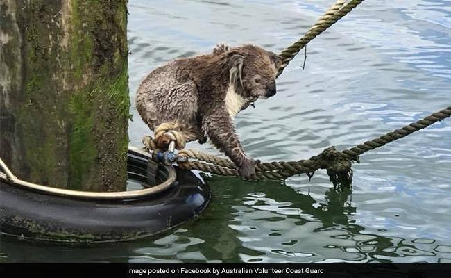 Koala Found Stranded At Sea Rescued By Coast Guard. See Pics
