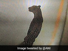 Leopard Enters Maruti Suzuki Plant In Manesar Near Gurgaon, Search Operation Launched