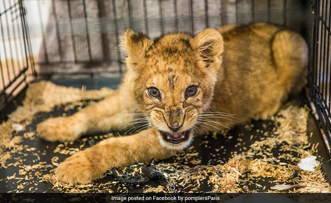 Man Rented Lion Cub To 'Show Off'. Selfies Helped Cops Track Him Down