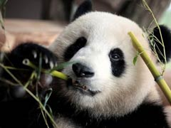 German Zoo Hopes To Cure Panda's Bad Walking Habit With Sex