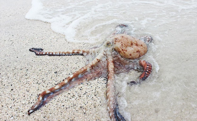 Dozens of Octopuses Seen Out of Water Crawling Along Welsh Coast