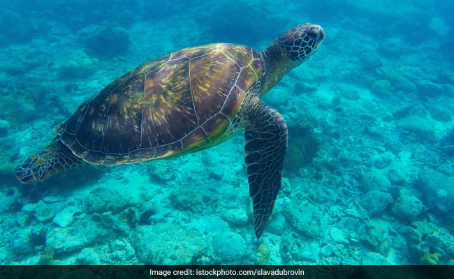 Odisha Gears Up For Nesting Season Of Olive Ridley Turtles