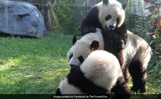 Watch: This Viral Video Will Make You 'Fall' For Pandas All Over Again