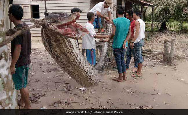 Village Auto Body >> Villagers Defeated 7.8 Metre Python, Then Whole Village Ate The Snake
