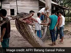 Villagers Defeated 7.8 Metre Python, Then Whole Village Ate The Snake