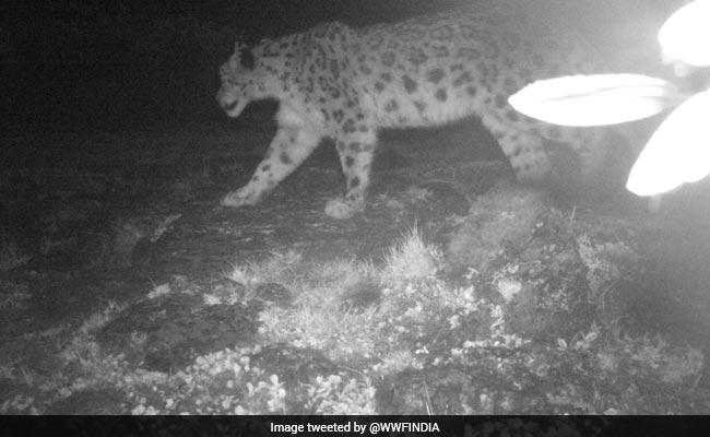 Study Provides Photo Evidence Of Snow Leopards In Arunachal Pradesh