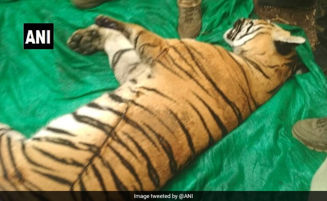 Man-Eating Tiger That Killed 4 In Maharashtra Village, Found Electrocuted