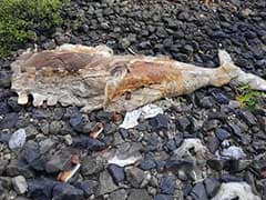 Dead 40-Foot Whale Found In 2 Pieces On Mumbai Shore