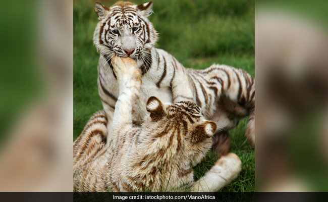 2 White Tiger Cubs Kill Keeper At Bengaluru's Bannerghatta Biological Park