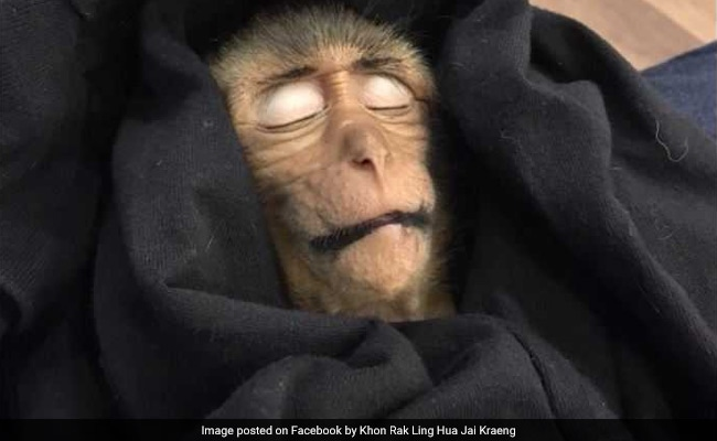 Baby Monkey Passes Out For 10 Hours After Downing Stolen Iced Coffee