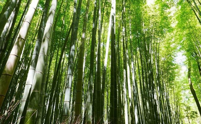 Bamboo Not A Tree Anymore As President Clears Ordinance Amending Forest Law