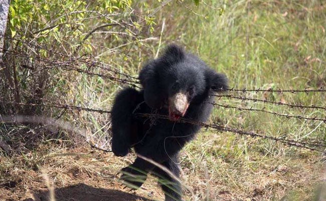bear poacher trap 2 ndtv