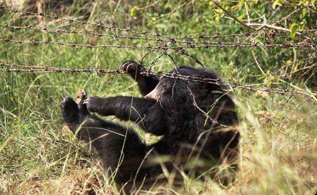 This Bear Cub Was Caught In A Poacher's Trap. How He Had A Lucky Escape