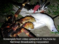 These Crabs Can Grow Up To 3 Feet And Hunt Birds, A Biologist's Video Proves