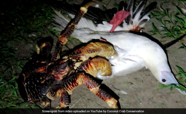 these coconut crabs can grow up to 3 feet and hunt birds a